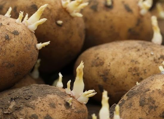 british seed potatoes 550