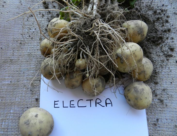 SSF16-6-Electra-from-Real-Potatoes0004